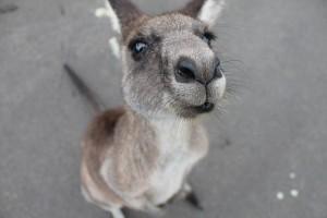 kangaroo-1149807_640